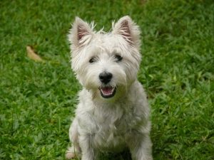 Do westies shed veranda on highland - Pictures of westie dogs ...