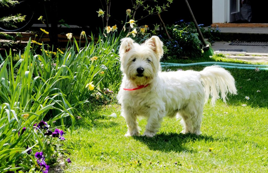 Are Westies Hard To Train Veranda On