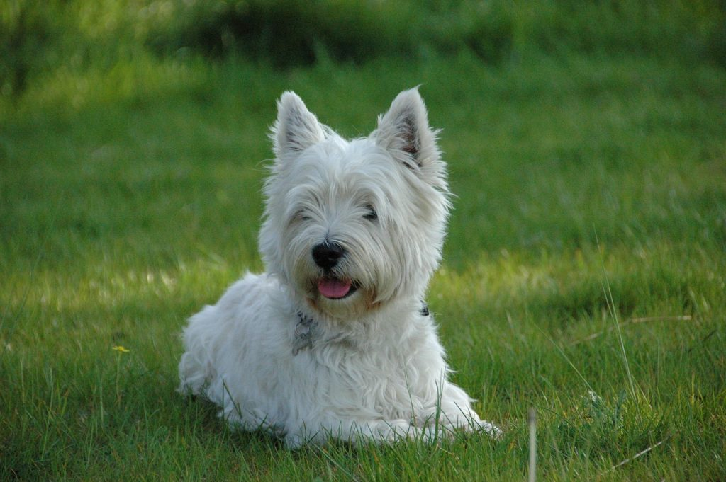 Photo of a purebred West Highland White Terrier