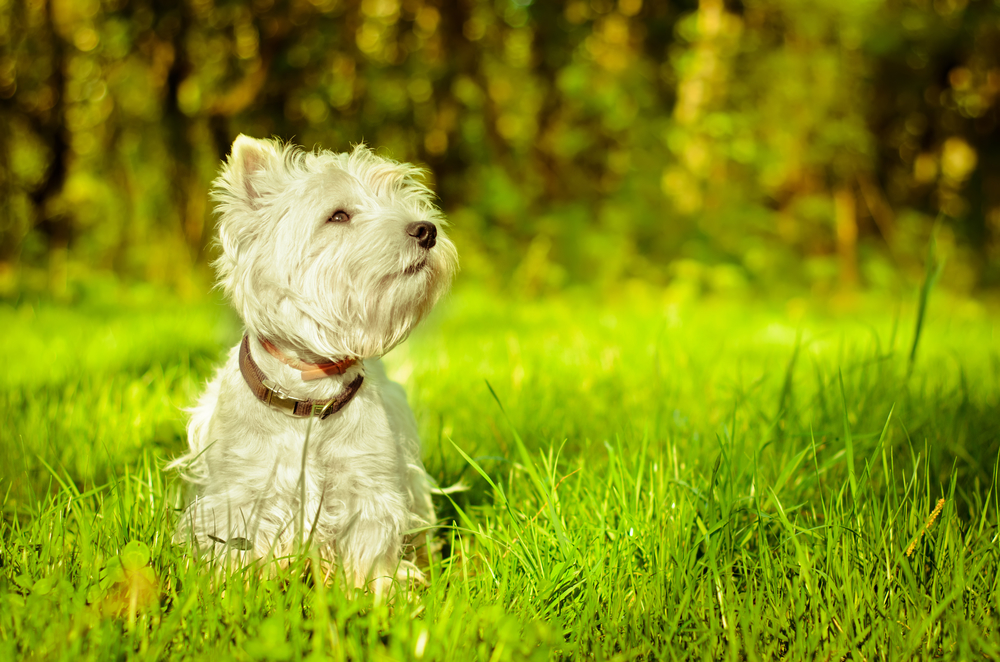 Top 5 Westie Skin Problems to Watch Out For - Veranda on Highland