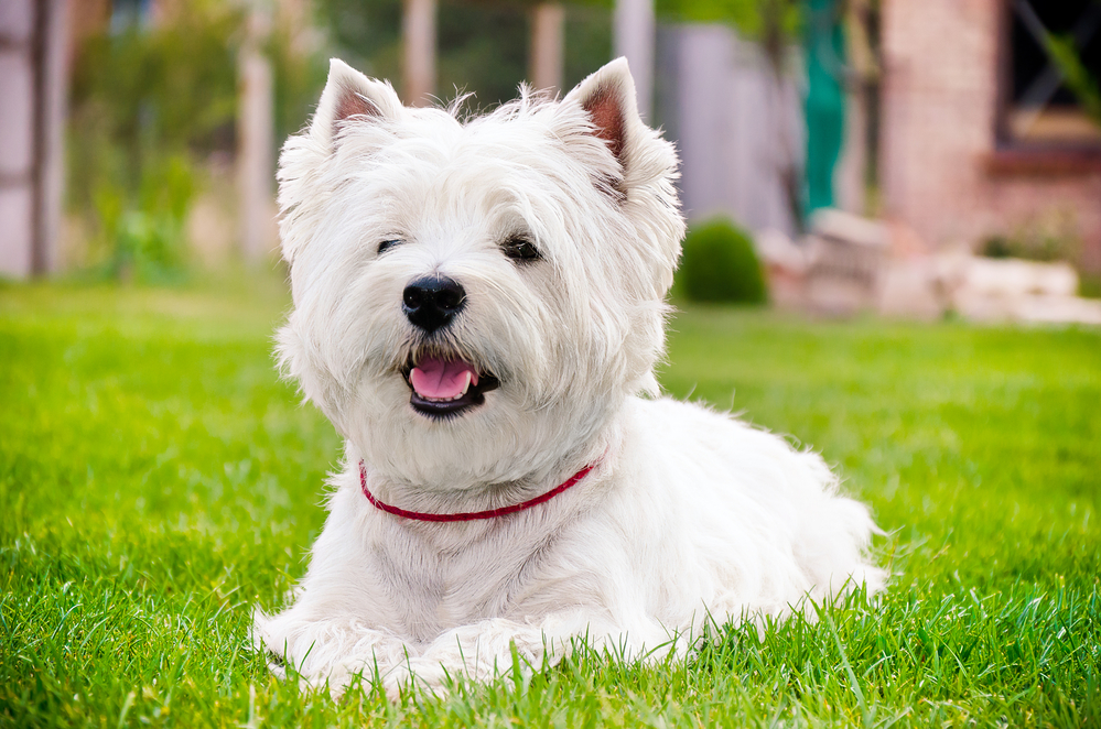 Best Dog Whitening Shampoo: Keep Your Westie White!