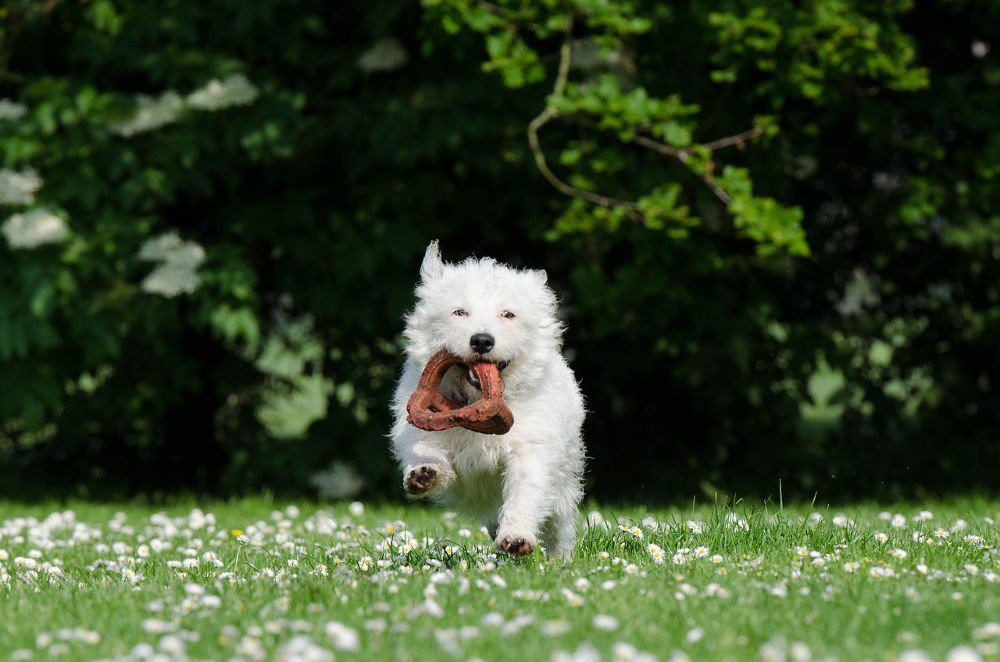How Much Exercise Does a Westie Need? - Veranda on Highland