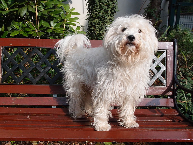 Westiepoo standing on a bench