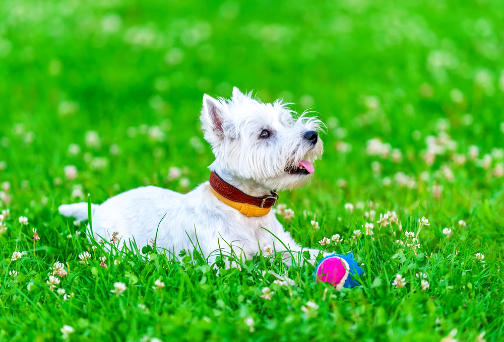 Westie playing with ball dog toy