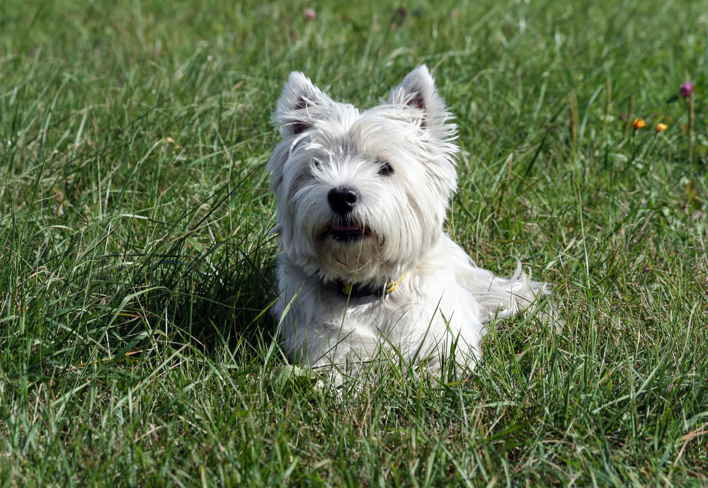 Westie sitting in the grass