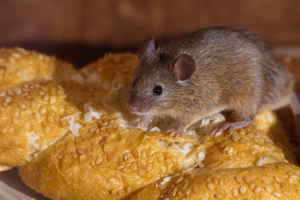 Mouse stealing bread in the house