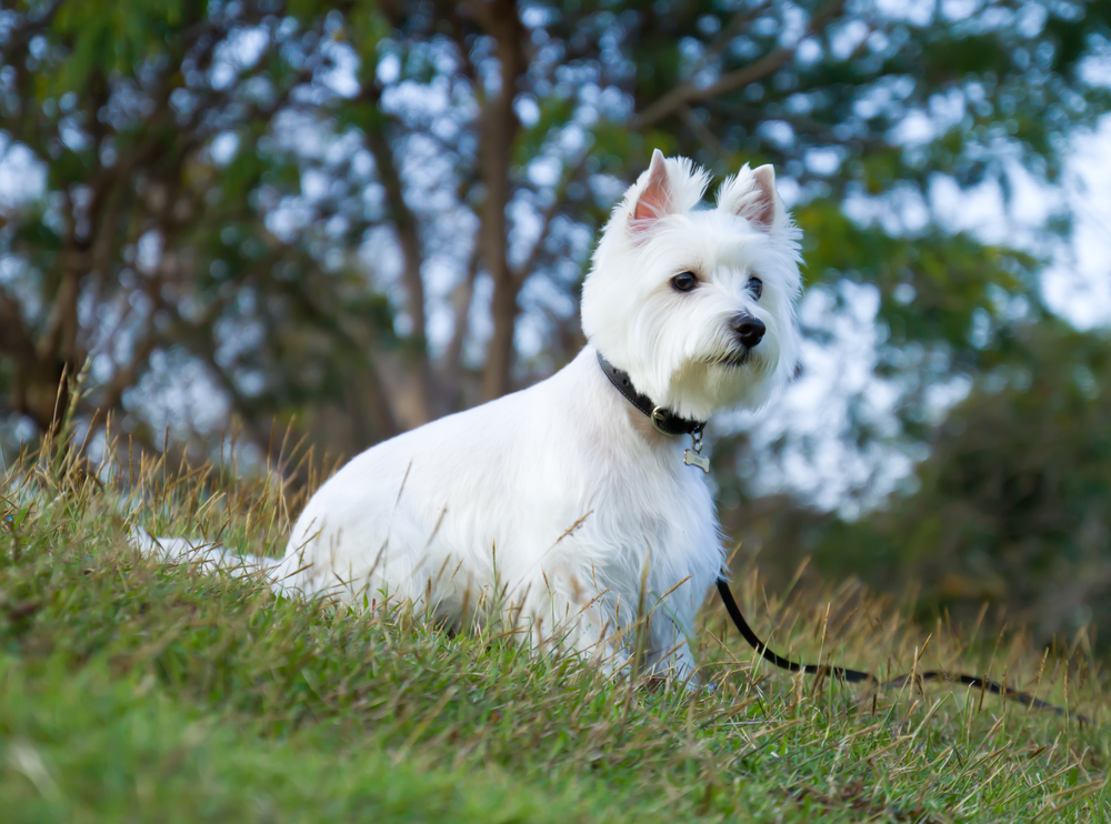 Westie on leash being trained as a service dog