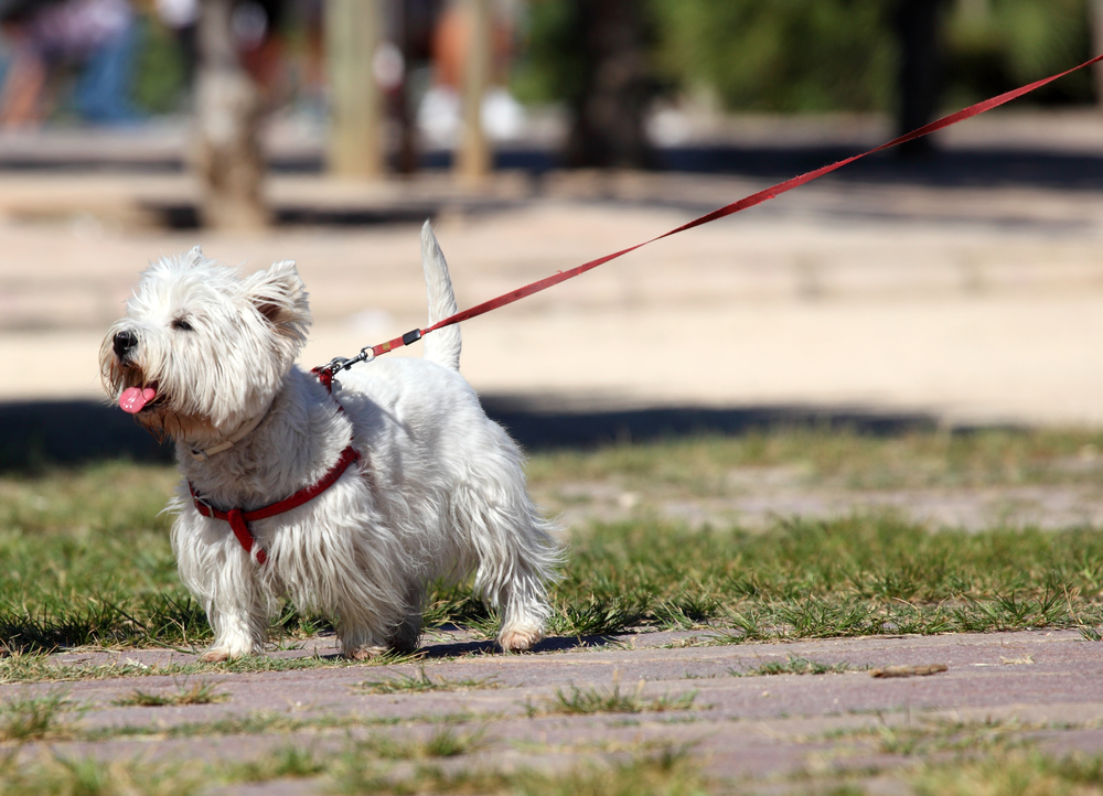 Westie being walked outside on a leash