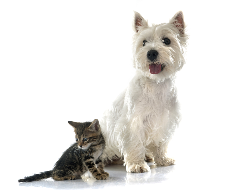 Westie getting along with a kitten